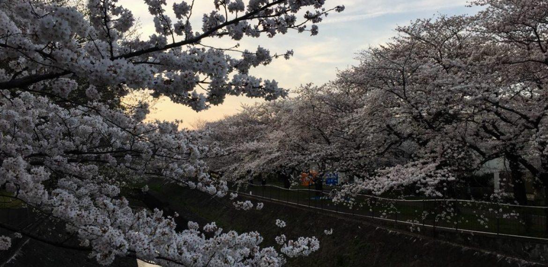 Dove vedere i ciliegi a Tokyo